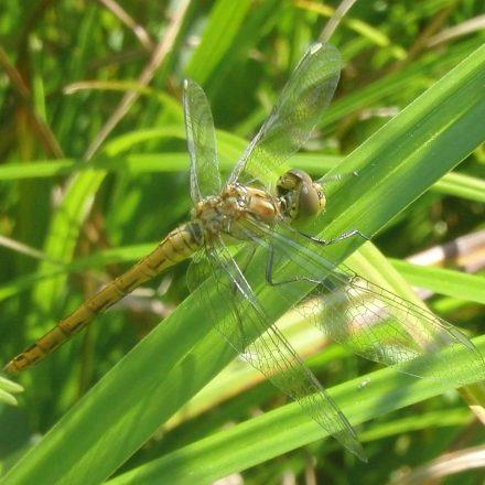 Wildland-Sumpfheidelibelle