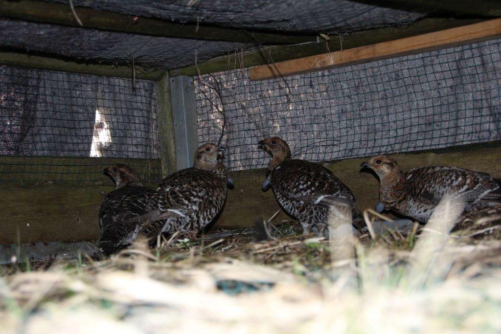 Birkhühner in der Auswilderungskiste ©Wildland-Stiftung Bayern