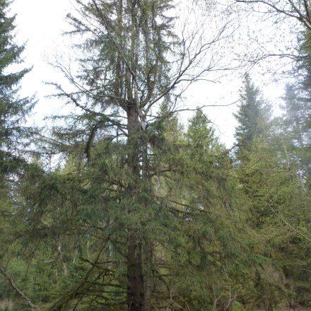 Altholz im Gennach-Moos©W-Kühnl