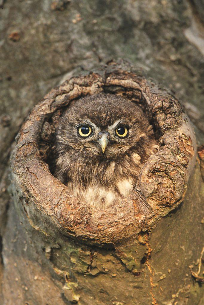 Jungvogel Steinkauz ©H. Glader
