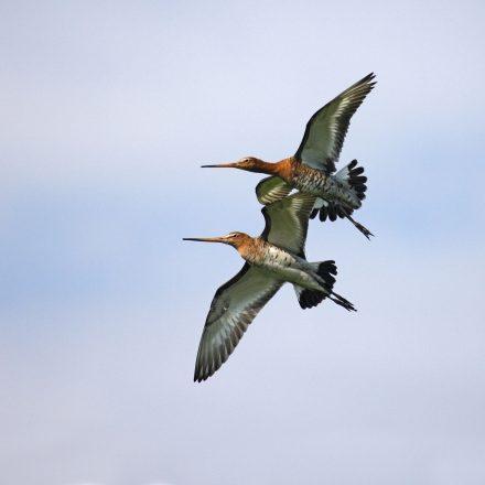 Uferschnepfe © H. Glader/piclease