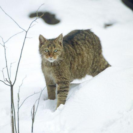 Europäische Wildkatze ©R. Siegel/Piclease