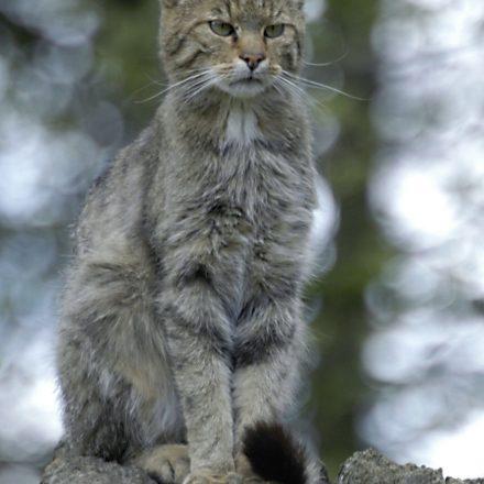 Europäische Wildkatze ©H. Götz/Piclease