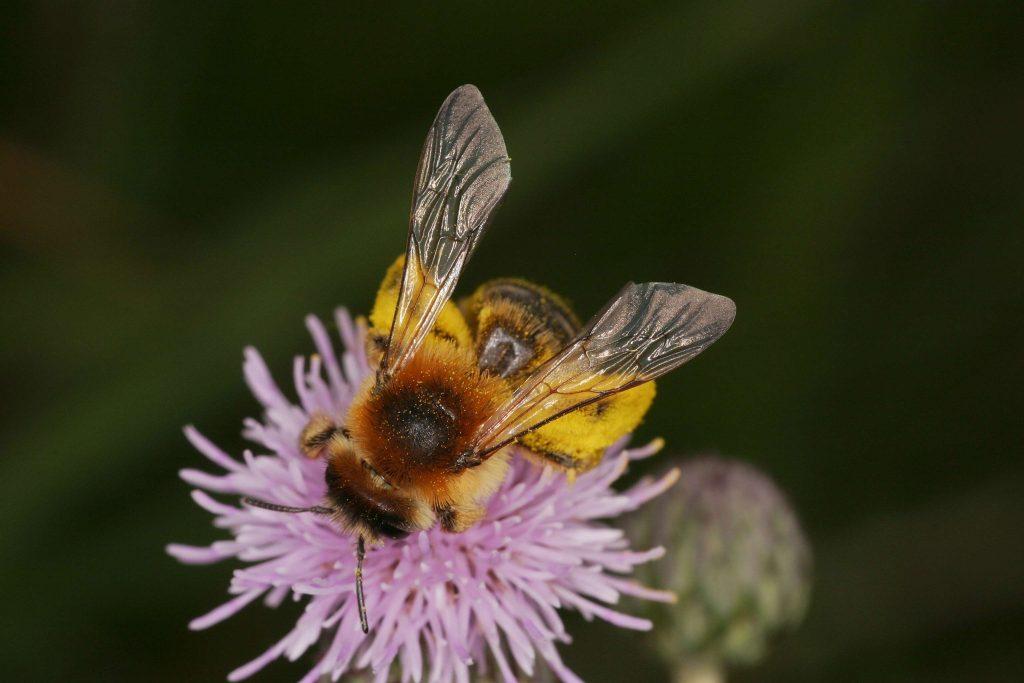 Wildbiene © I. Altmann/Piclease