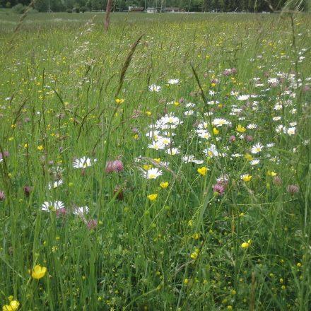 Margaritenwiese © Wildland-Stiftung Bayern