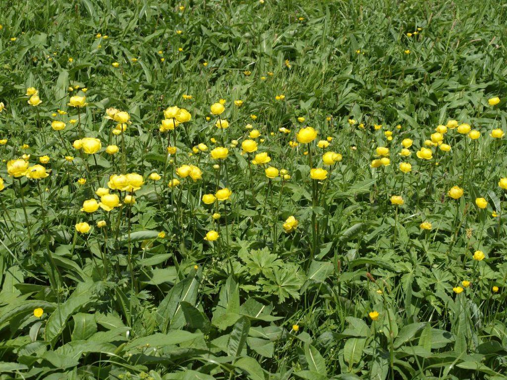 Trollblumen © Wildland-Stiftung Bayern