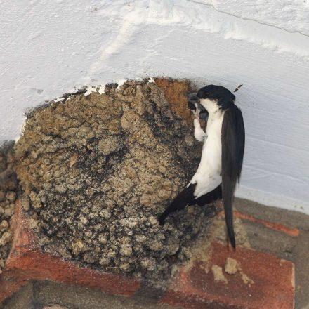 Mehlschwalbe am Nest © H. Glader/Piclease