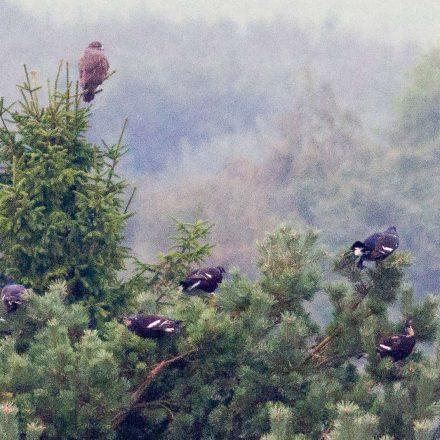 Bei der Zählung gesehen: Birkhuhngruppe mit Mäusebussard ©S.Börnecke/Journalist