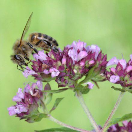 Honigbiene auf Dost©J-Hemmer_piclease