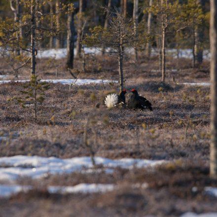 Birkhahnbalz im schwedischen Fanggebiet©T. Kuhn