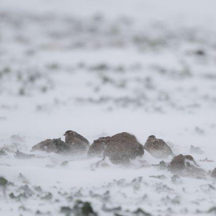 Nestlinge ducken sich amFeldlerchen vom Wintereinbruch überrascht©E-Thielscher/piclease
