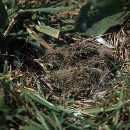 Nestlinge ducken sich im Bodennest©E-Thielscher/piclease