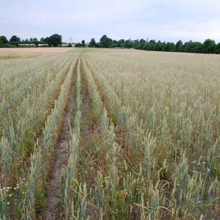 Weizenfeld mit weitem Abstand der Pflanzreihen©C-Martin/piclease