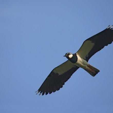 fliegender Kiebitz©H-Glader_piclease