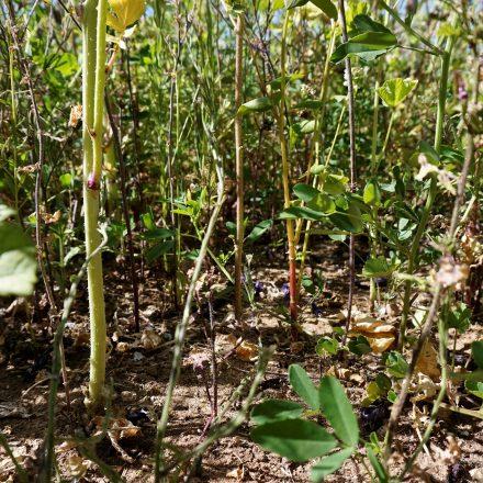 lockerer Pflanzabstand auf den Blühflächen©Ökol. Bildungsstätte Oberfranken