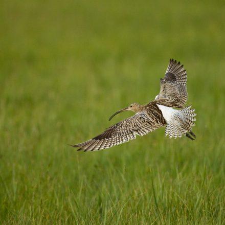 Großer Brachvogel©S-Ott_piclease