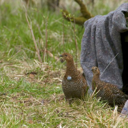 Besenderte Hennen verlassen die Auswilderung-Kiste in der Rhön©Wildland-Stiftung Bayern